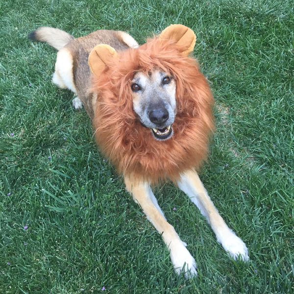Bosch the Dog dressed as a lion