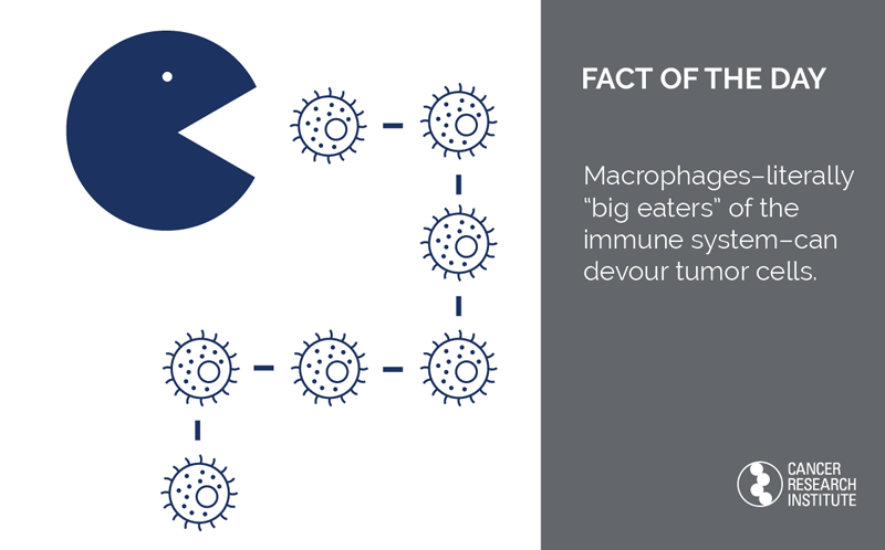 Immunotherapy Fact of the Day: Macrophages - literally big eaters of the immune system - can devour tumor cells
