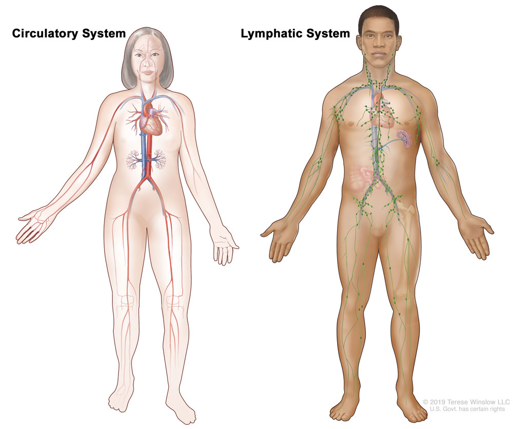 Diagram of Circulatory and Lymphatic System (c) Terese Winslow