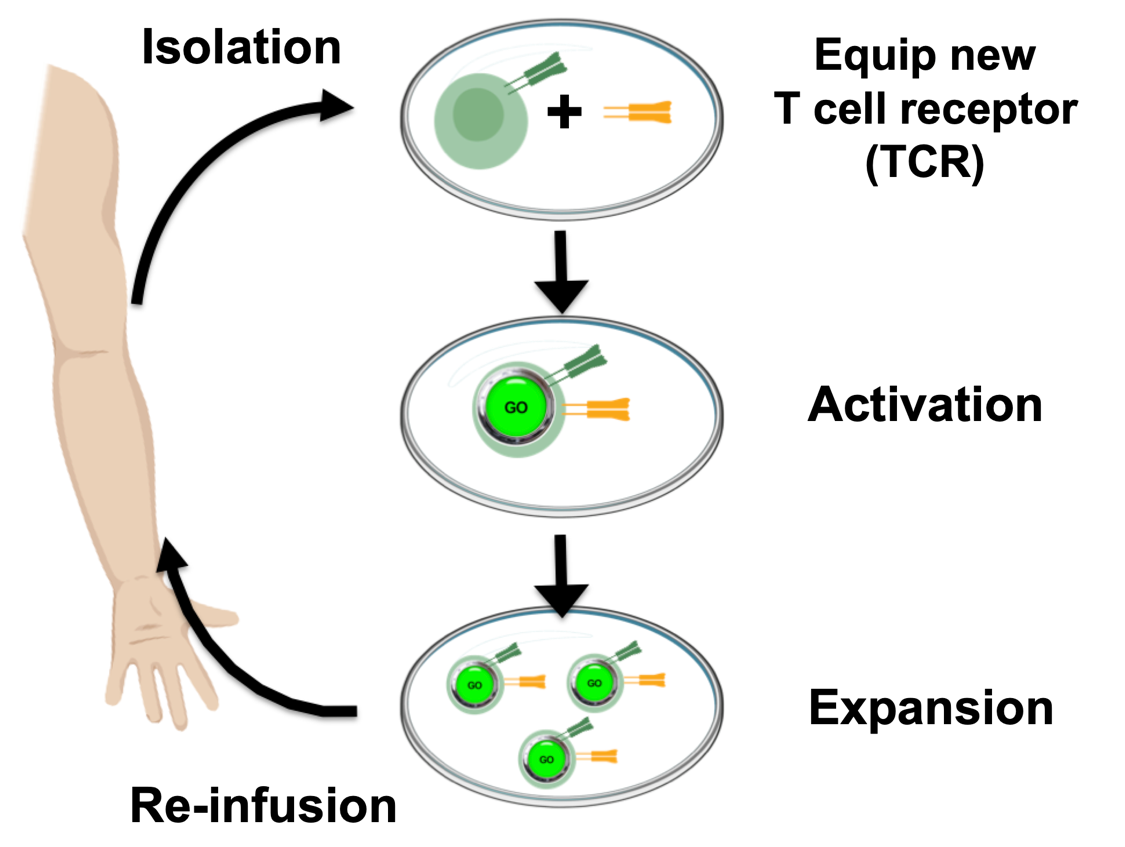 Illustration of the TCR therapy cycle of isolation, equipment, activation, expansion, and reinfusion