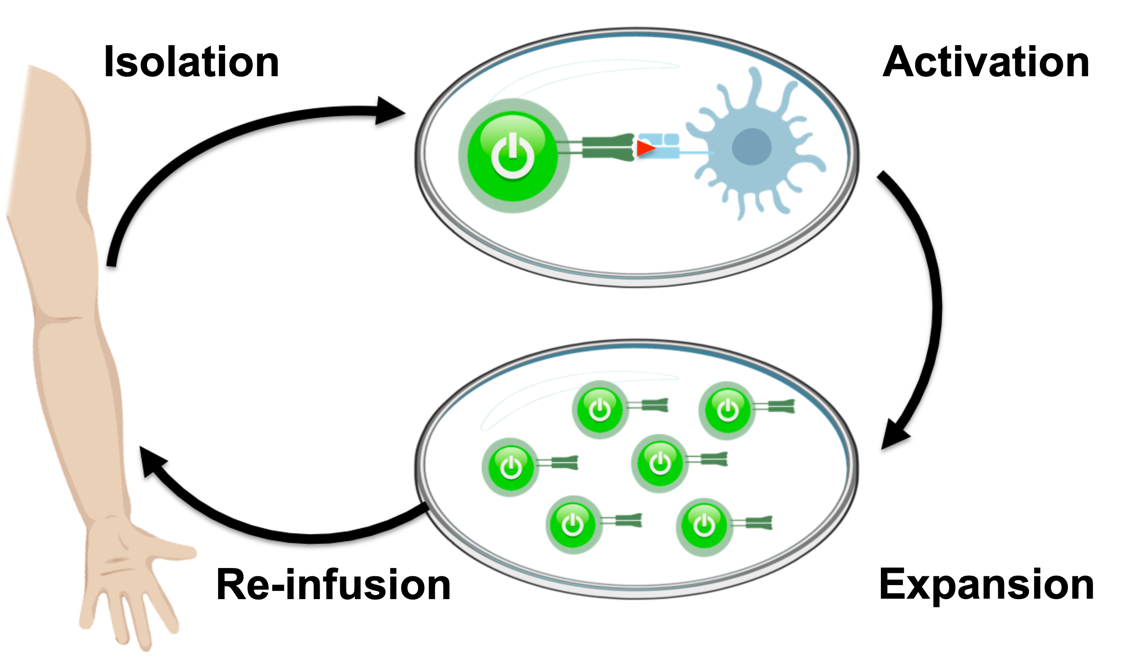 Illustration of the TIL therapy cycle of isolation, activation, expansion, and reinfusion