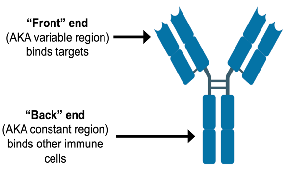 Diagram of front end (which binds to targets) and back end (which binds to immune cells) of antibody