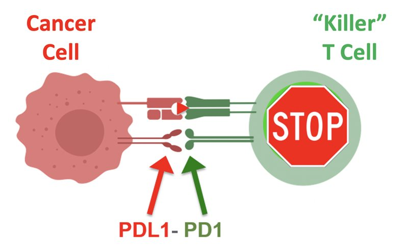 Checkpoint immunotherapy illustration